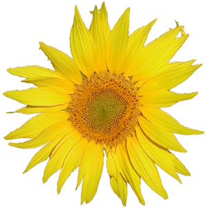 mediawiki_sunflower