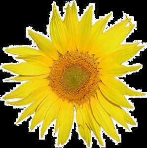 mediawiki_sunflower